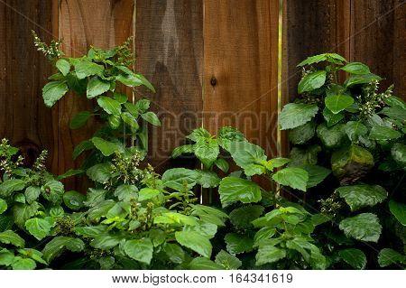 Flowering Patchouli Plant After Rain
