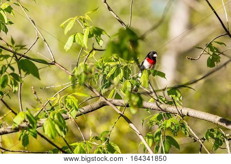 Rose-breasted Grosbeak, (Pheuctius ludovicianus) perched in a tree branch.