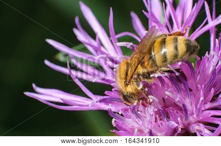 honeybee pollinated of flower, close-up bee on pink flower collects nectar