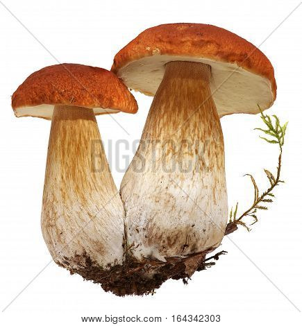 Family of white porcini. Wild Foraged Mushroom selection isolated on white background, with shadow. Boletus Edulis mushrooms over white background