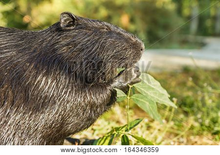 Nutria or coypu or swamp beaver (lat. Myocastor coypus) a mammal of the rodent eats the green leaves