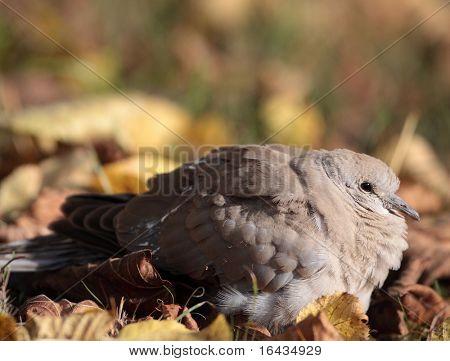 Eurasian Collared Dove also known as turtledove (Streptopelia decaocto)