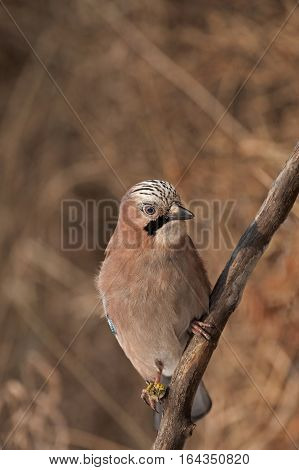 Eurasian Jay (Garrulus glandarius) sitting on a branch and looking on right side.December in Poland.Vertical view.