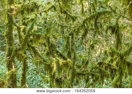Branches with moss and algae.The old forest