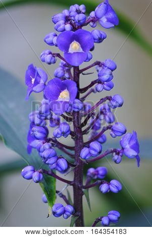 Bunch of beautiful blue flowers in the inflorescence on stem