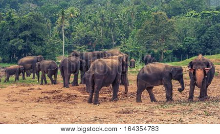 Sri lanka: group of elephants in Pinnawala, the largest herd of captive elephants in the world poster