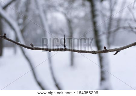 Thorny Branches in Winter. Cold Winter Day