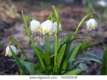 Delicate white snowdrop on a natural background