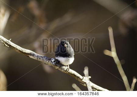 Dark-eyed Junco perched placidly on dead branch