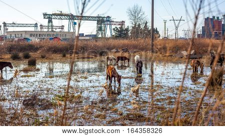 Horses Stand In A Swamp Near The Container Terminal
