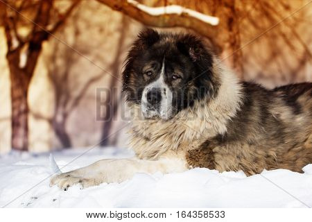 Adult Caucasian Shepherd dog is lying outside on a cold winter day with snow.Caucasian sheepdog in winter time.