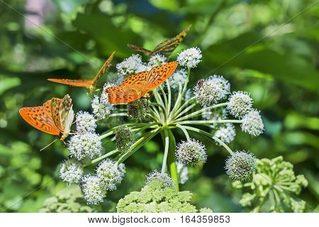 A cluster of butterflies Perlamutrov ( lat. Argynnis paphia ) on the flower of Angelica ( lat. Angelica sylvestris )