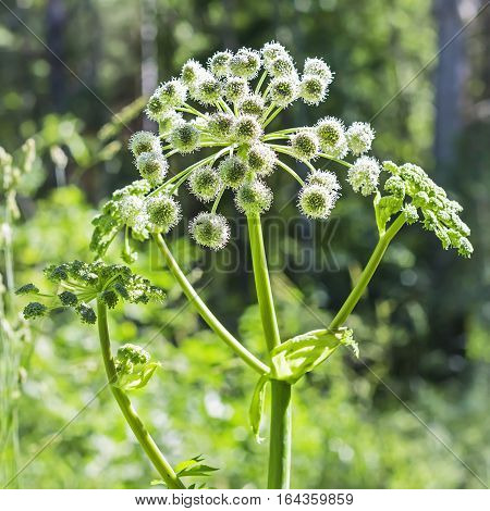 Plant wild Angelica ( lat. Angelica sylvestris). Flowering plant closeup in the woods
