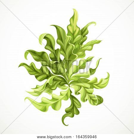 Marine Green Algae Object 2  Isolated On White Background