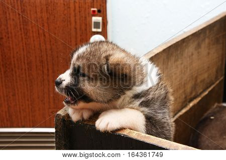 Cute newborn Akita Inu puppy attempting to get out of the box