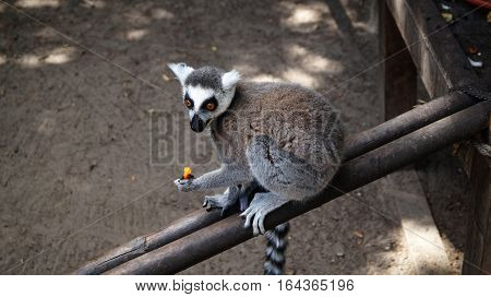 Portrait of a Ring-tailed lemur (Lemur catta) eating fruit