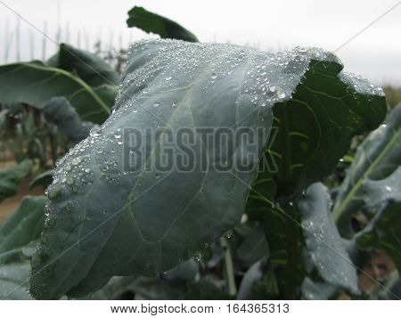 Raindrops on cauliflower leaves. The cauliflower plants are growing in the field, Tuscany Italy
