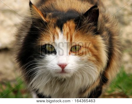 Beautiful long-haired cat gazing intently at camera
