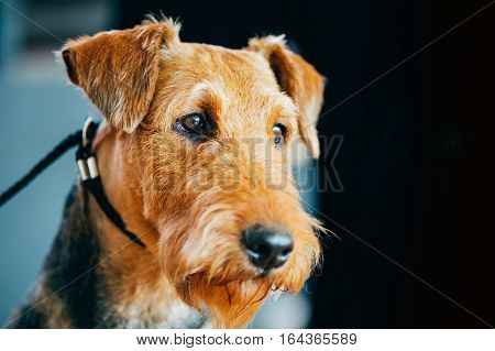 Beautiful Brown Airedale Terriers Dog Close Up Portrait.