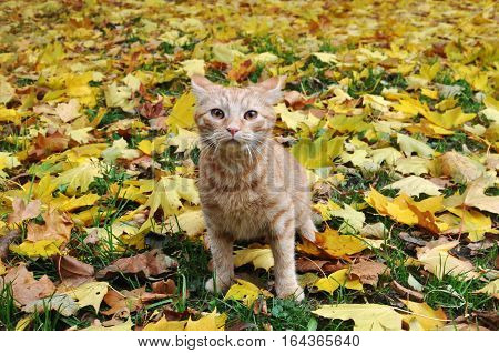 Red cute kitten sitting in autumn leaves