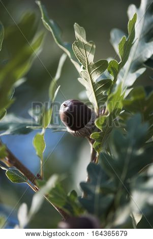 An acorn ripens among green leaves in late summer.