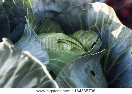 A close-up shot of a cabbage head waiting to be harvested.