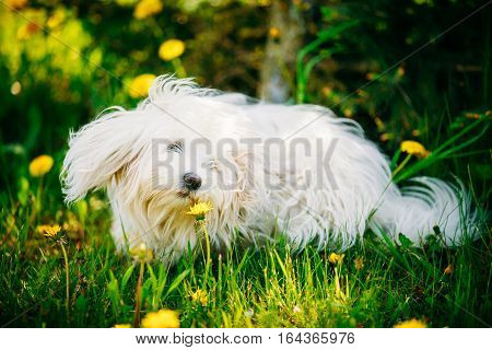 White Bichon Bolognese Dog Sitting In Green Grass and sniffs dandelion flowers in Park