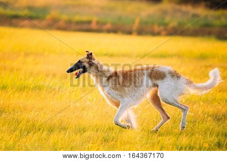 Russian Dog, Borzoi Running In Summer Sunset Sunrise Meadow Or Field