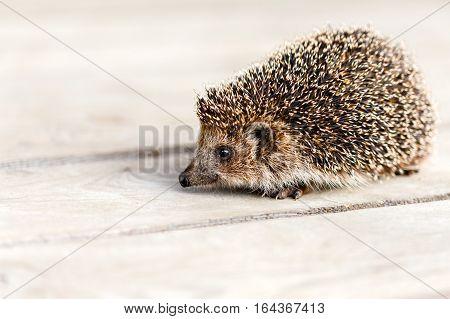 Cute Funny Lovely Hedgehog Standing On Wooden Floor