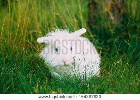 Close View Of Cute Dwarf Decorative Miniature Snow-White Fluffy Rabbit Bunny Mixed Breeds With Blue Eye Sitting In Bright Green Grass In Garden.