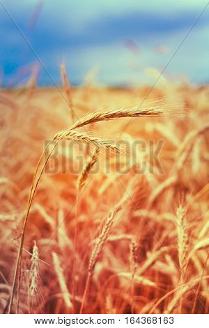 Close The Ripe Wheat Spikelets On Golden Cornfield. Toned Instant Filtered Moody Photo In Warm And Cold Colors, Yellow And Blue. Copyspace.