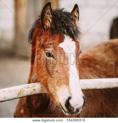 Close Up Portrait Of Brown Foal Young Horse. Toned Instant Photo