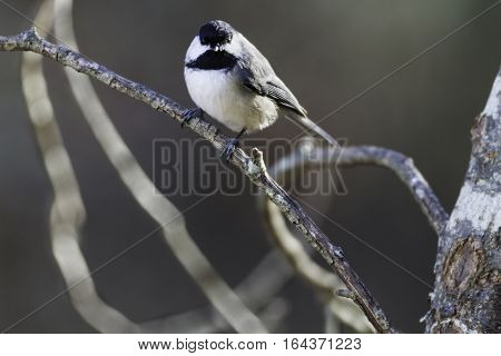 Black-capped Chickadee catch light eye contact perched