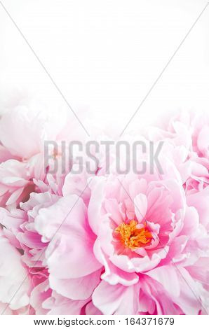 Fresh bunch of pink peonies peony roses flowers. Pastel floral wallpaper background from flower petals. Trendy color. Bloom love concept. Card text place copy space.