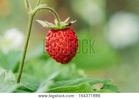 Red Fragaria Or Wild Strawberries, Wild Strawberry. Growing Organic Wild Strawberry. Ripe Berry In Fruit Garden.