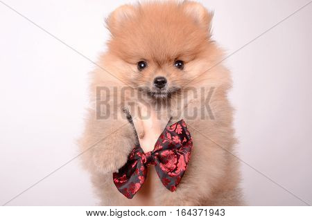 Pet in his arms in a bow tie. Fluffy Puppy Spitz.