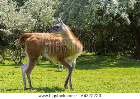 Guanaco Full Body