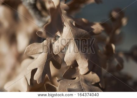 Dried oak leaves still cling to their branch in late fall.