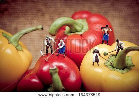Miniature farmers harvesting his bell peppers. Macro photo