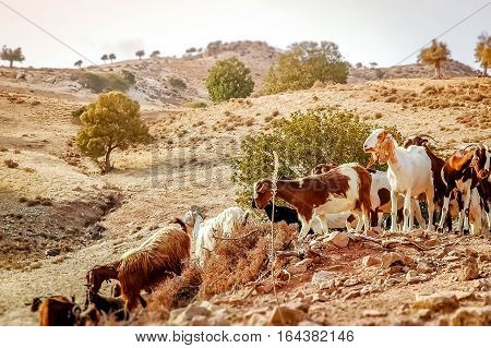 Flock of goats in a rural landscape. Cyprus.