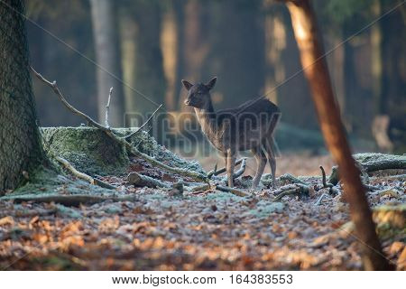 Fallow deer youngster in a winter forest.