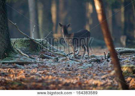 Fallow Deer Youngster In Winter Forest. Rear View.