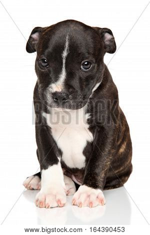 American Staffordshire puppy on a white background