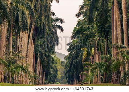 Sri Lanka: beautiful alley of palms in Royal Botanic Gardens, Peradeniya, Kandy