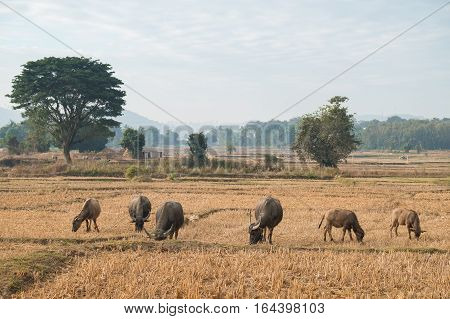Thai's Buffalo eating straw on rice field in countryside of Thailand.