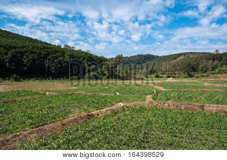 Young corn field, Agriculture scene in countryside of Nan province, Thailand.