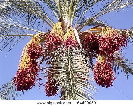 Date Palm in Or Yehuda Israel November 11 2006
