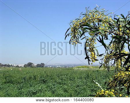 Mimosa flower in Or Yehuda Israel March 25 2005