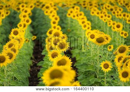 Close up sunflower field. Agriculture and nature