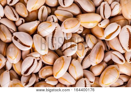Money Cowry Heap